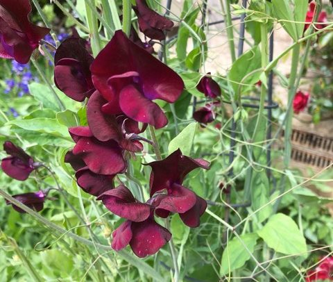 Rachel's Virtual Garden - Thought you would like the first of Keith's sweet peas and a rhododendron. My soil has a ph 7.8 so very alkaline, but I am very fond of rhododendrons and azaleas so sink large pots in the ground and top them up with ericaceous compost every year'.